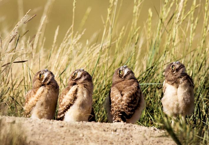 burrowing_owl_four_72