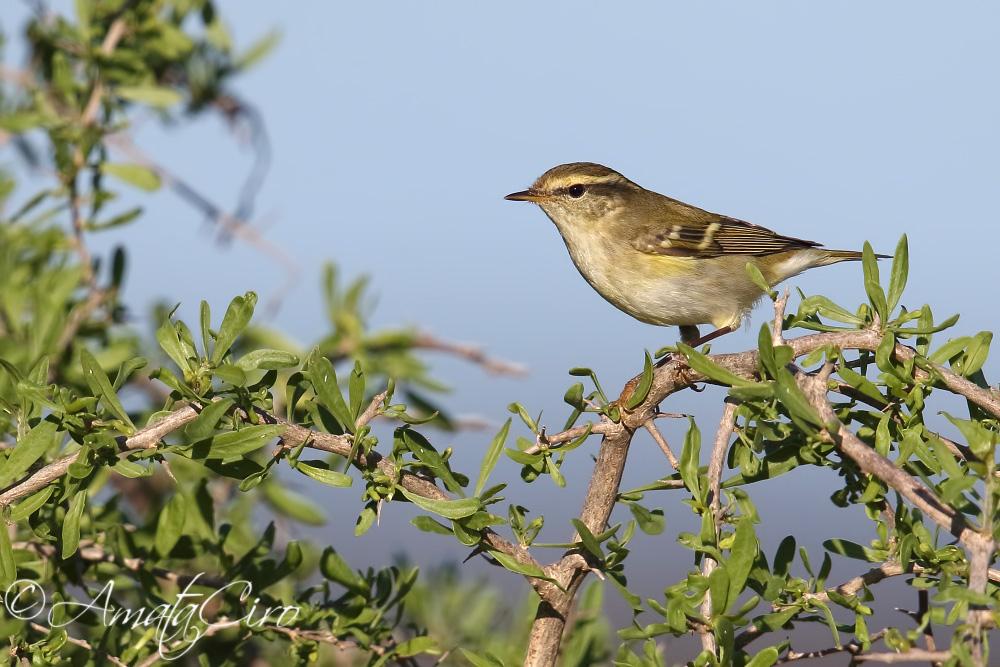 Yellow-Browed Warbler (Phylloscopus inornatus). Uno dei 30+ visti a Linosa nell'autunno 2017. Questa specie, precedentemente considerata accidentale in Italia, dal 2007 è stata registrata ogni anno, qualificandosi come scarsa ma migrante regolare.