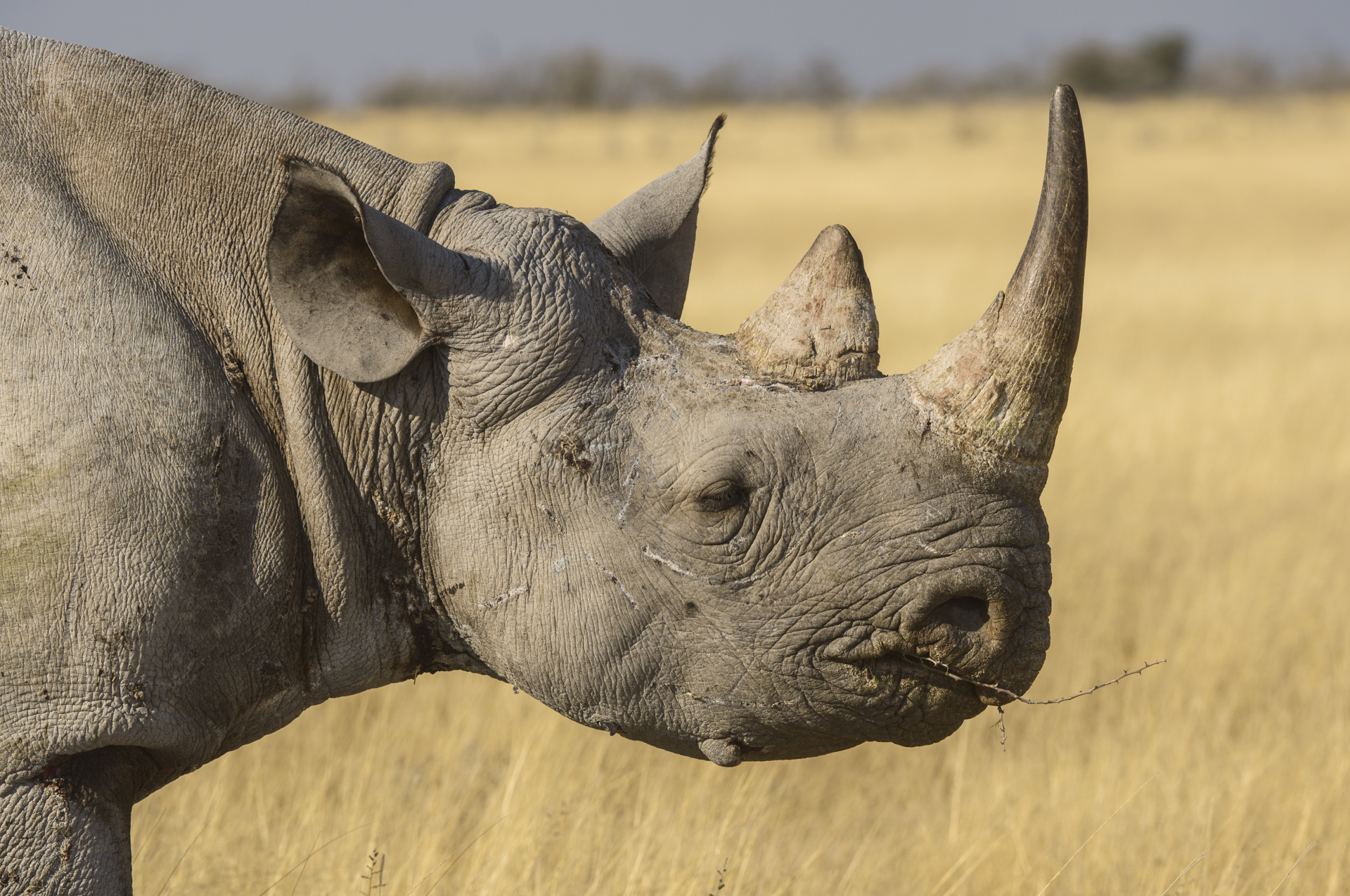 Primo piano di un bellissimo rinoceronte nero Diverso bicorni nell'Etosha National Park, Namibia.