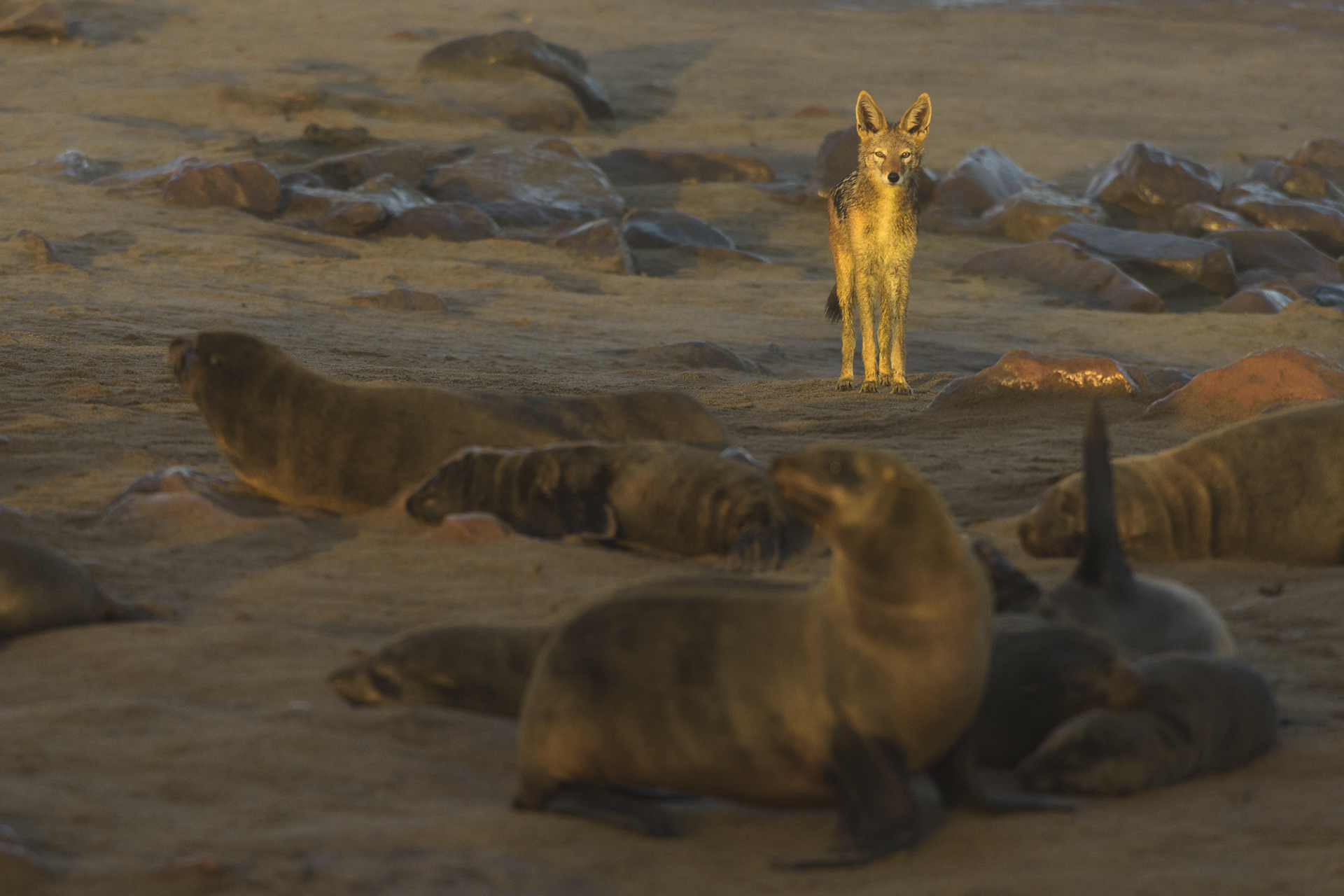 Uno sciacallo della gualdrappa cerca cibo nella colonia di otarie. Black-backed jackal (Canis mesomelas) at dawn looking for something to scavenge into the Cape fur seals colony of Cape Cross in Namibia.