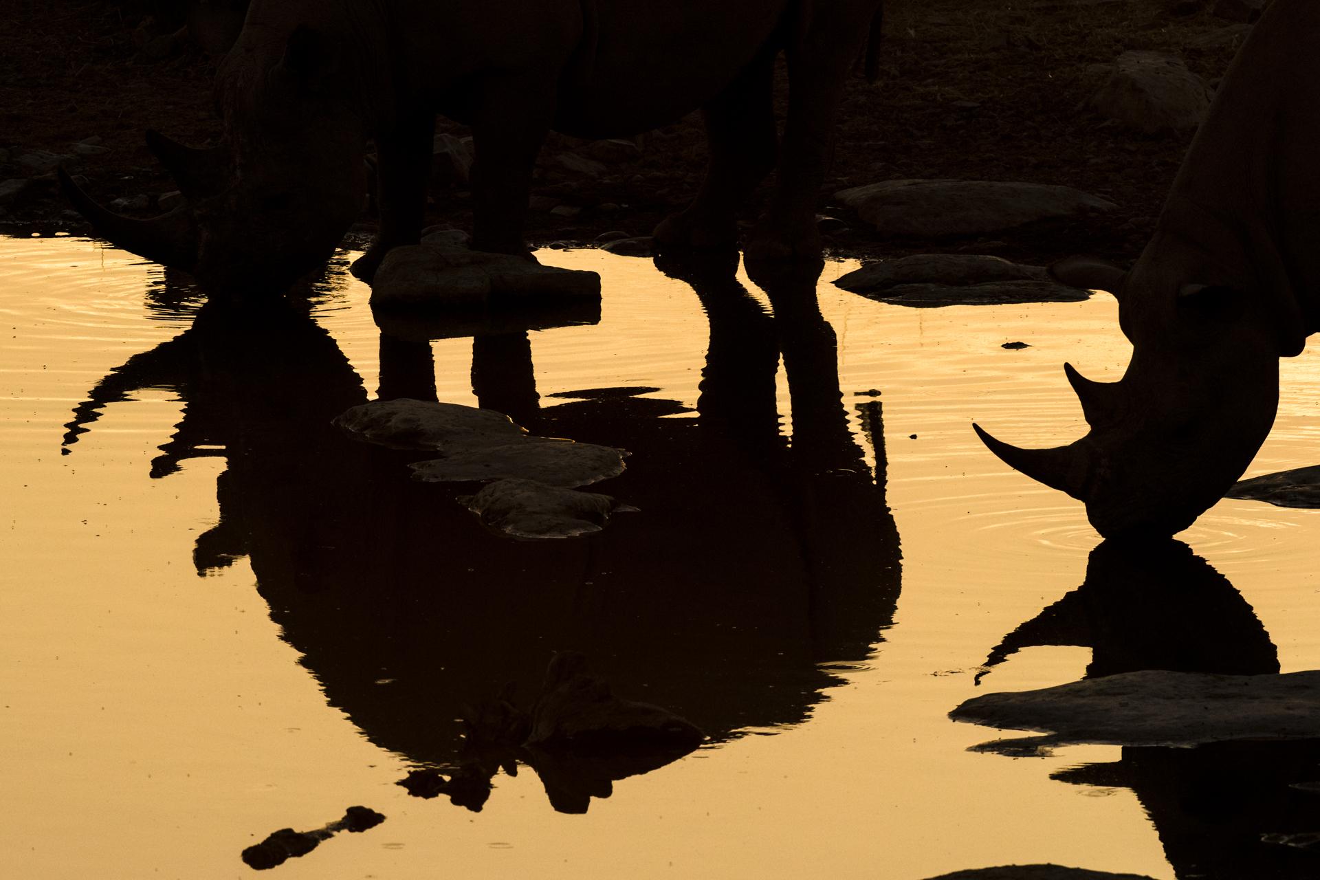 Le silhouette (una riflessa) di due individui di rinoceronte nero mentre si abbeverano nell'Etosha National Park, Namibia. Reversed image of two black rhinos (Diceros bicornis) drinking at a water hole at dusk. Etosha National Park, Namibia
