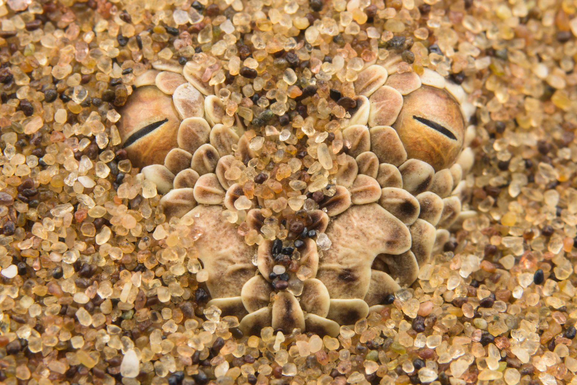 La vipera di Peringuey. è uno dei piccoli grandi protagonisti della vita nelle dune del deserto del Namib. Vive solo lì. Peringuey's adder (Bitis peringueyi) nascosta tra i granelli di sabbia del deserto durante un'azione di caccia.