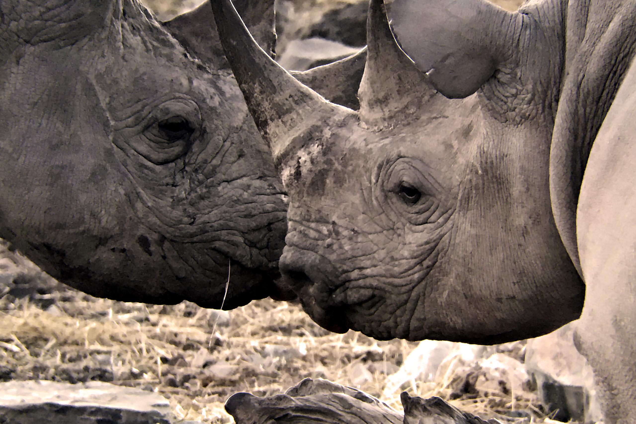 Due individui di rinoceronte nero (Diceros bicornis) che si sono incontrati vicino ad una pozza di abbeverata e si scambiano un saluto amichevole e non aggressivo, Etosha National Park, Namibia. Foto scattata con Leica APO Televid 82mm con l'aggancio per cellulare montato