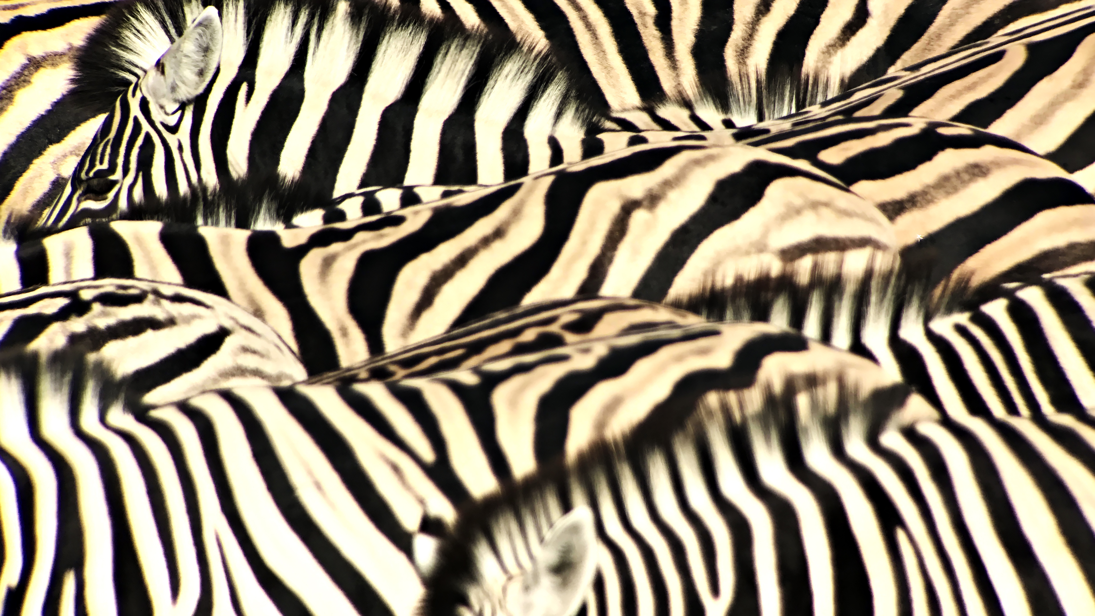 Foto scattata con Leica APO Televid 82mm con l'aggancio per cellulare montato. Zebre di pianura (Equus burchelli) in branco, con strisce dell'una che si confondono nell'altra, Etosha National Park, Namibia.