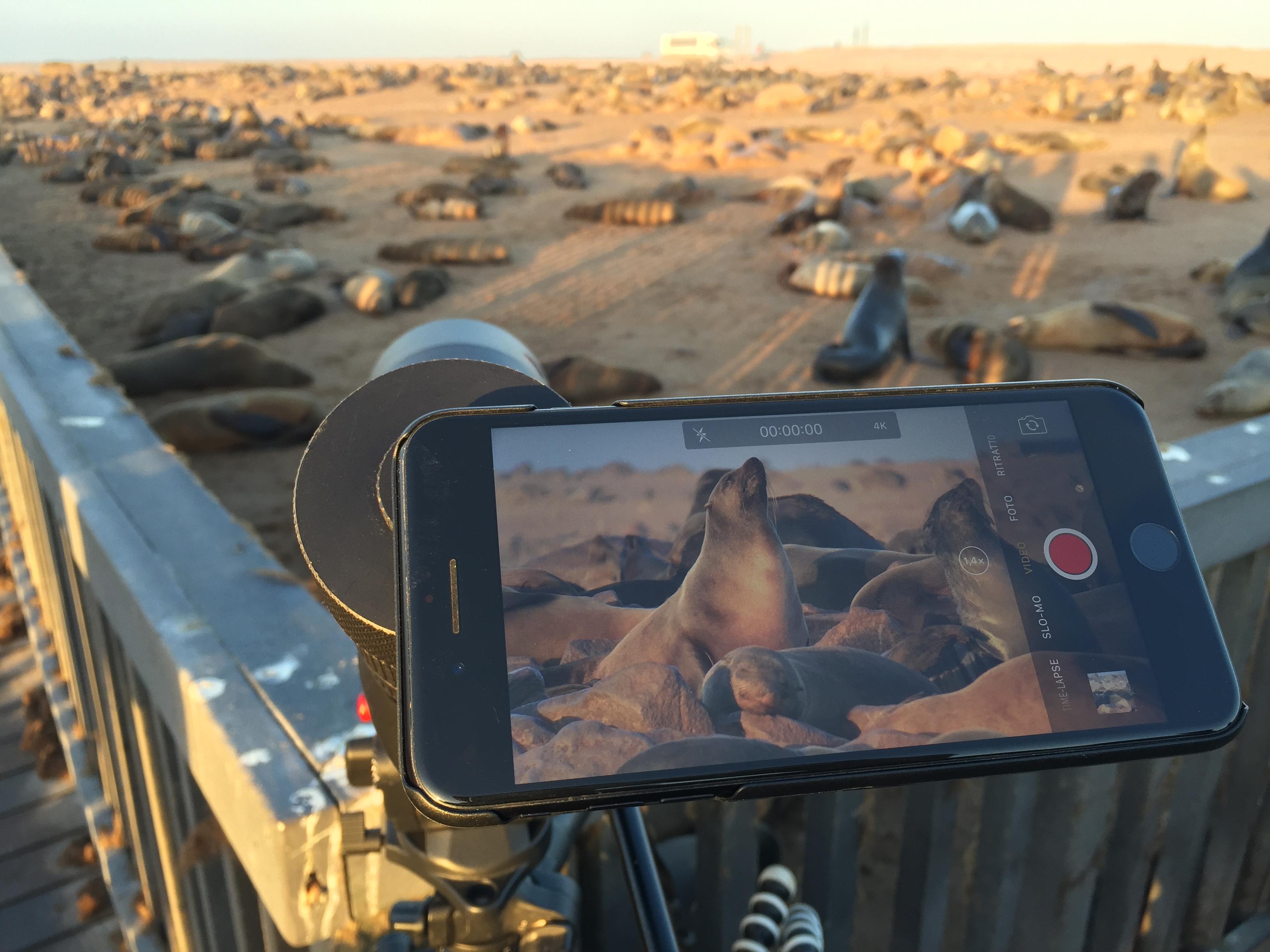 Leica APO Televid 82mm con l'aggancio per cellulare montato e quello che si può vedere nell'inquadratura mentre filmavo le otarie ursine del Capo nella colonia di Cape Cross, Namibia. Sistema adattatore Leica per smartphone. Permette di collegare il proprio telefono con il cannocchiale Apo Televid per video e fotografie incredibili.