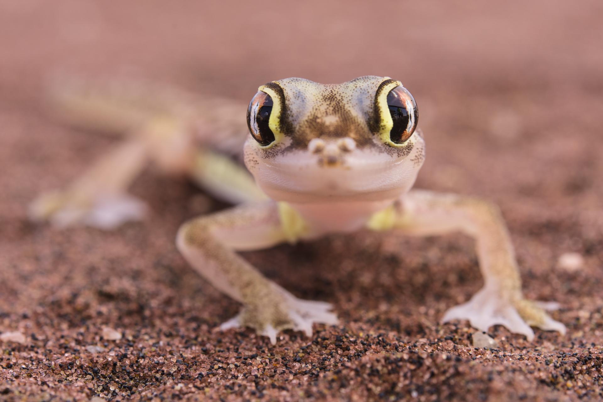 Pachydactylus rangei, un geco delle dune del Namib fotografato al mattino vicino a Swakopmund.