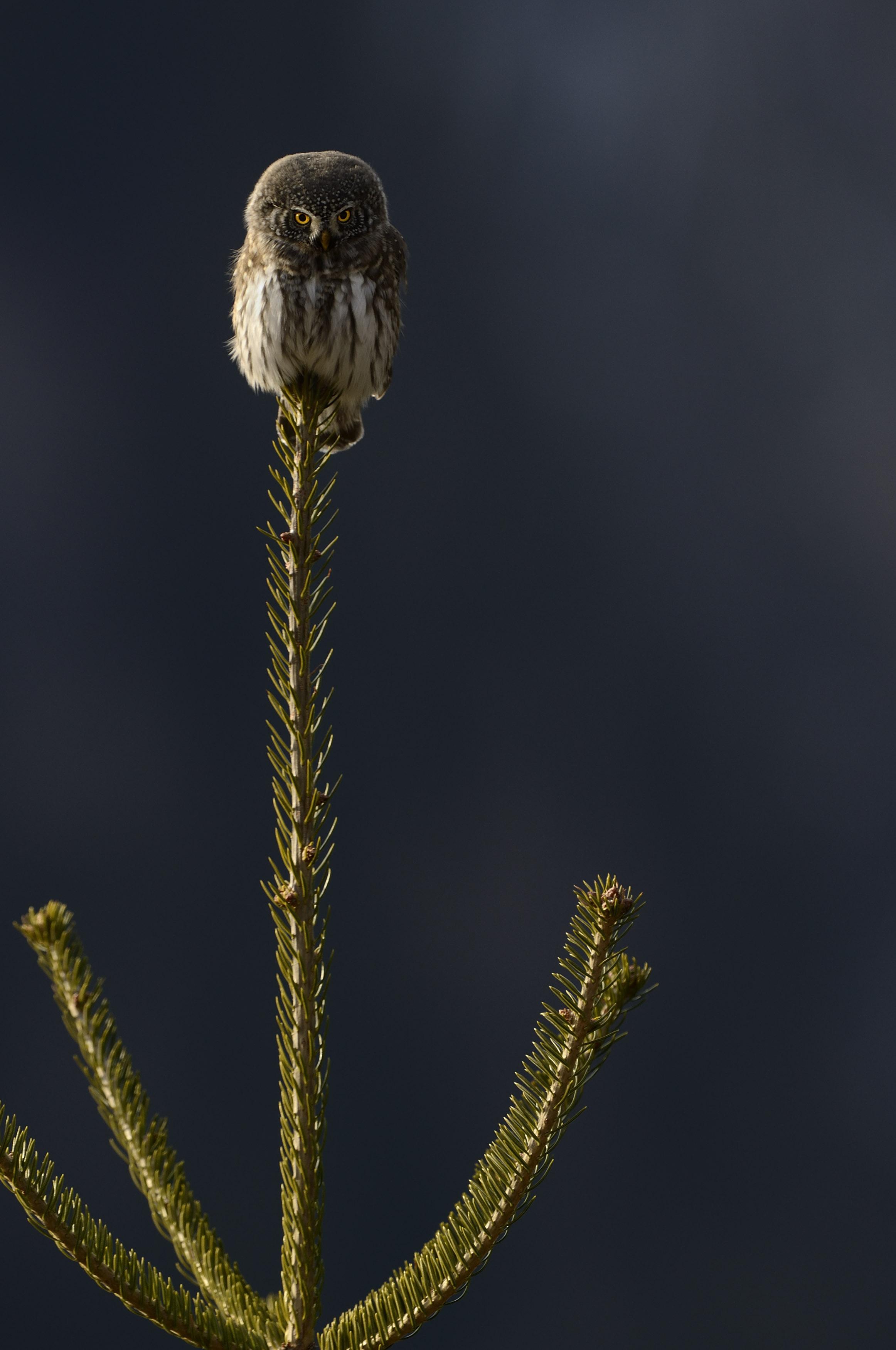 Civetta nana