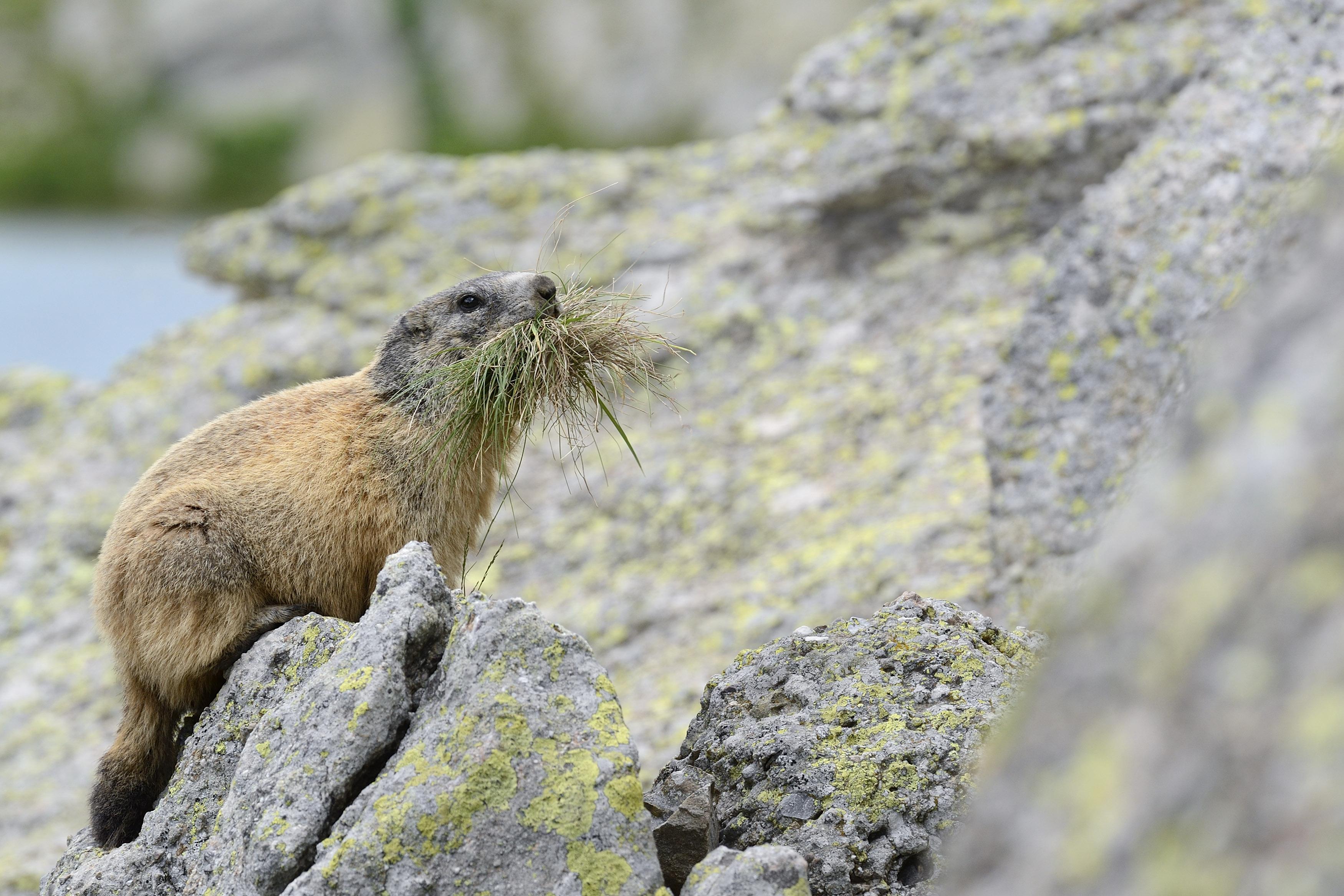 Marmotta alpina (2)
