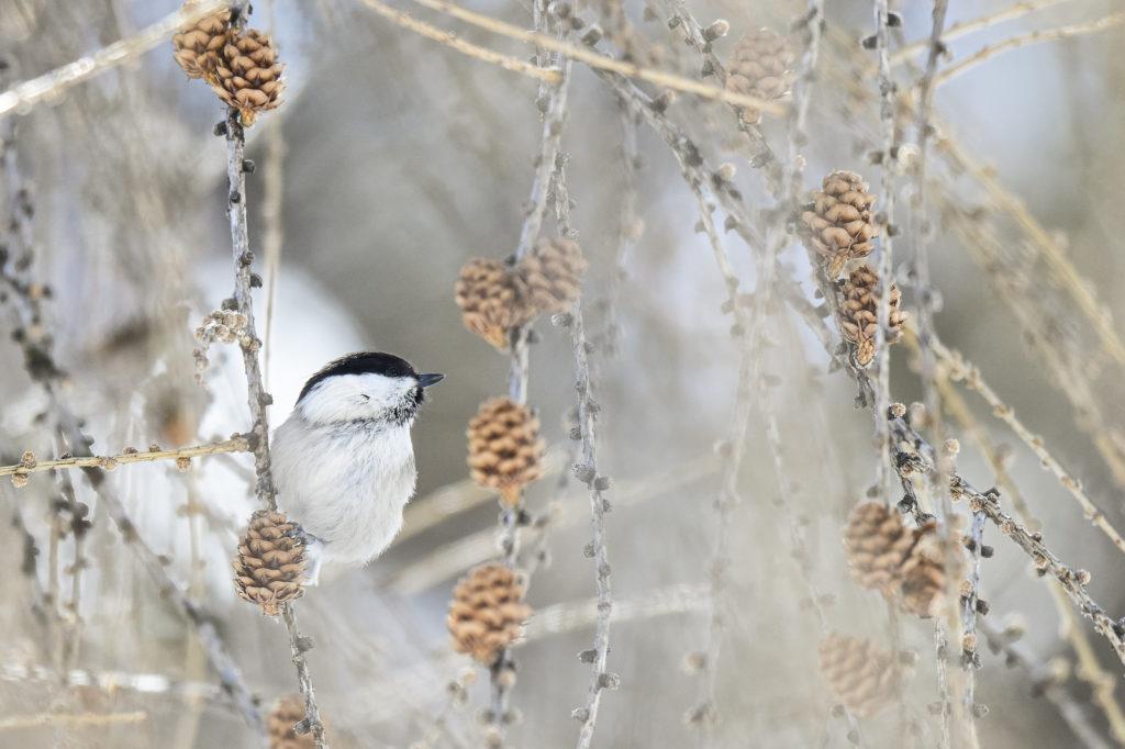 Foto di Emanuele Biggi | Cincia bigia. The willow tit (Poecile montanus).