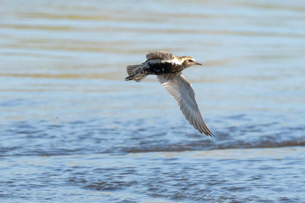 Stesso uccello in volo, si noti il sottoala uniformemente scuro, incluse le ascellari grigio-beige (Marco D'Errico).