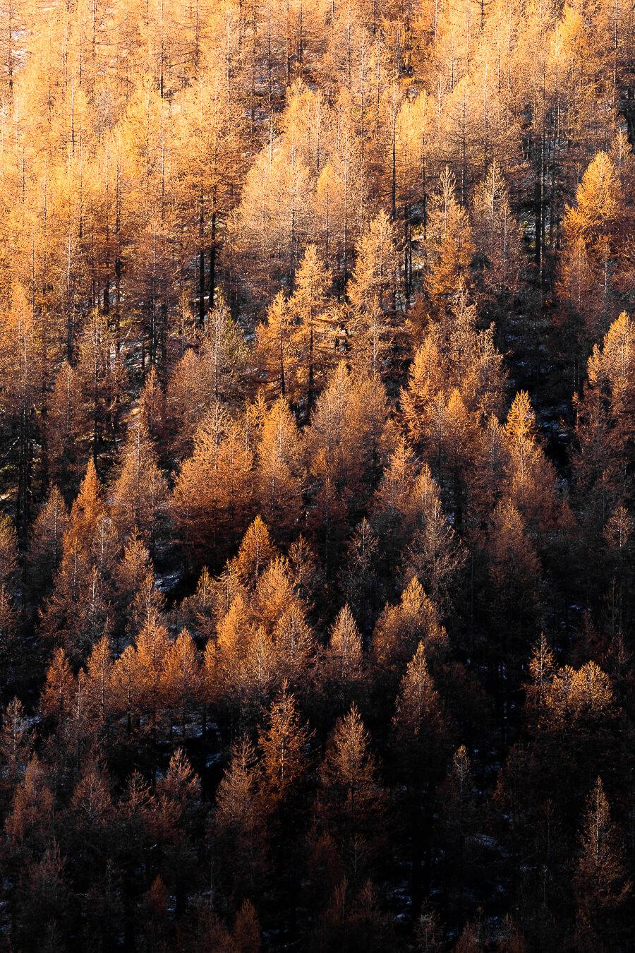 Bosco di larici all'alba - foto di Luca Eberle