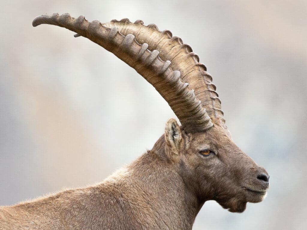 Stambecco (Capra ibex) – Foto di Luca Eberle