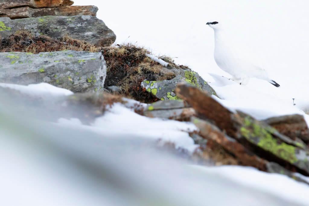 Pernice bianca (Lagopus muta) – foto di Luca Eberle