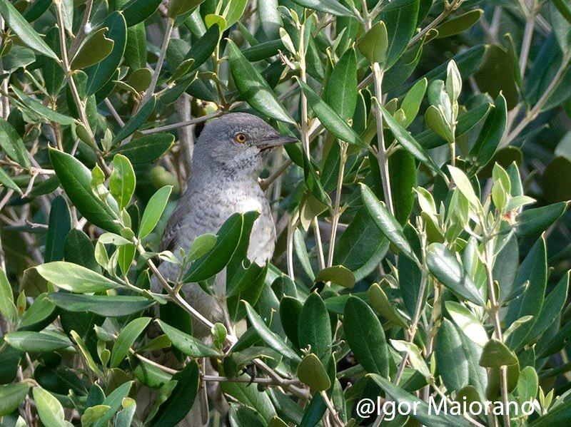 Bigia padovana 1 adulto il 1 novembre, la seconda per Linosa e circa la quinta di sempre per la Sicilia.