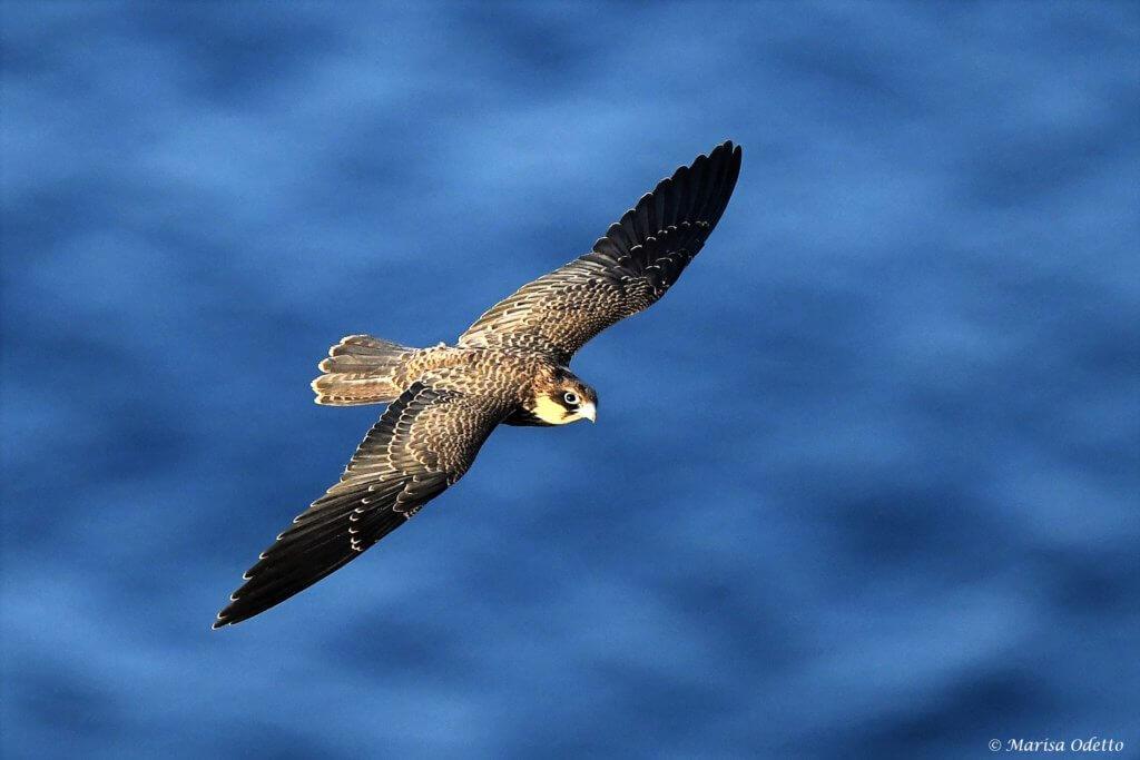 falco della regina osservazione della natura Leica Natura
