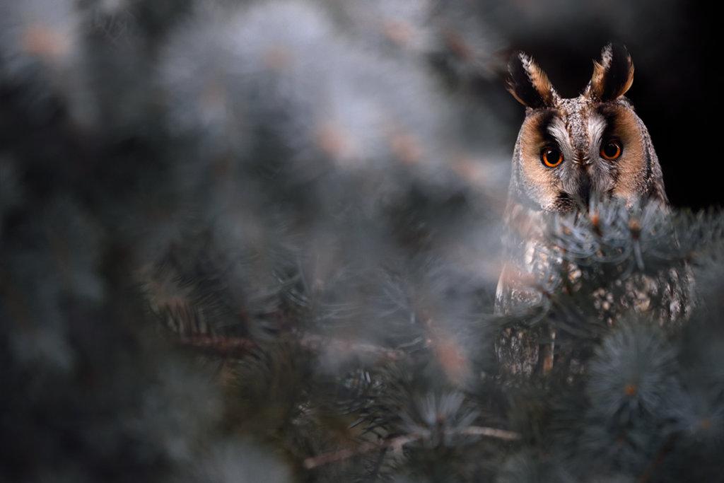Gufo comune, foto Luca Giordano