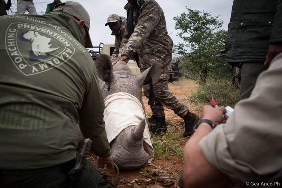 Leica Natura e AIEA Microchippatura di un rinocertonte in Botswana