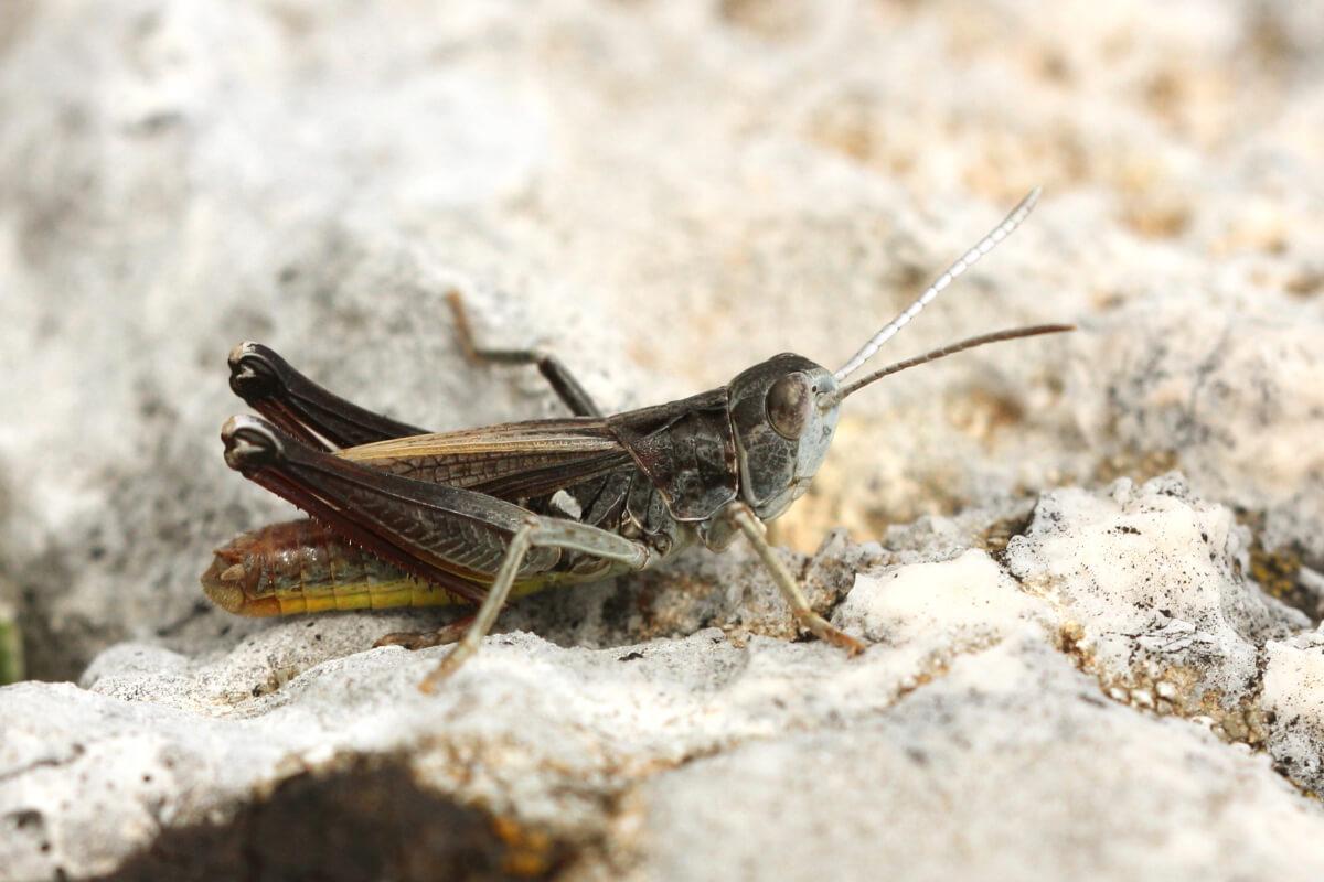 Italohippus albicornis 1 M (Parco del Matese CE, versante est monte Gallinola 25-9-15)