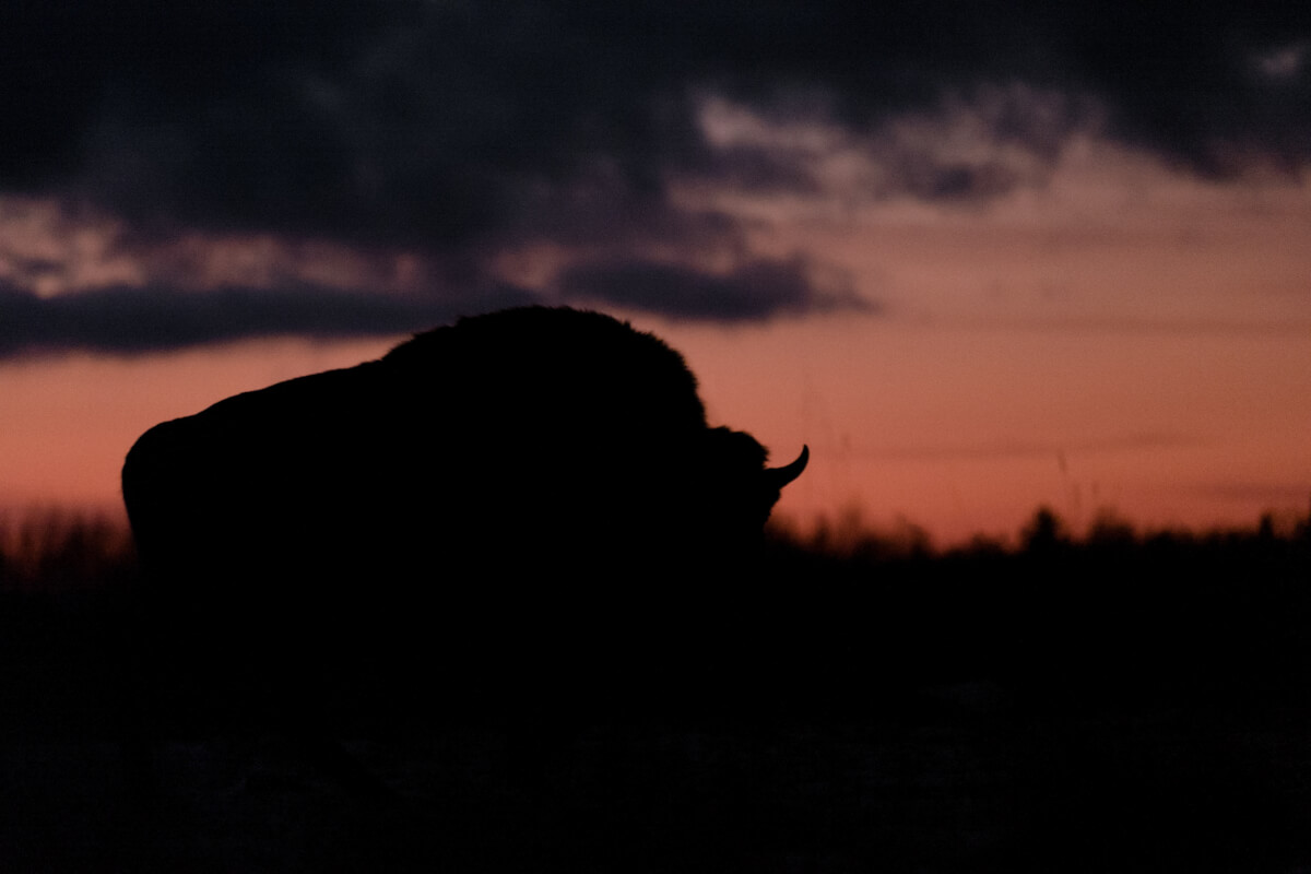 bisonte europeo leica natura Maurizio beucci