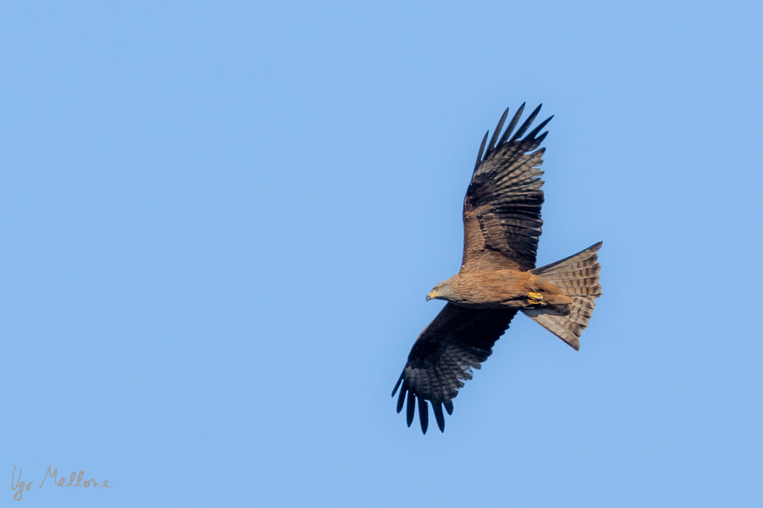 Un nibbio bruno appena arrivato in Europa Leica Natura Leica Natura blog