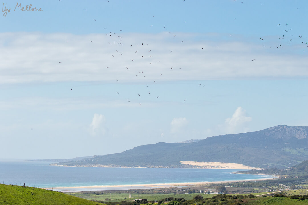 L'arrivo dei nibbi bruni a Tarifa Leica Natura leica blog