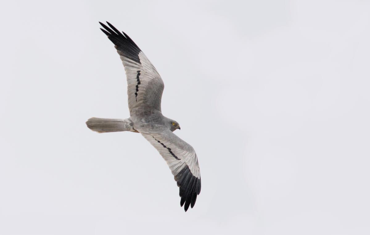 Albanella minore maschio adulto (Michele Viganò). Si noti punta dell'ala molto più estesamente nere che in Albanella pallida, e barra medio-alare nere diagnostica.