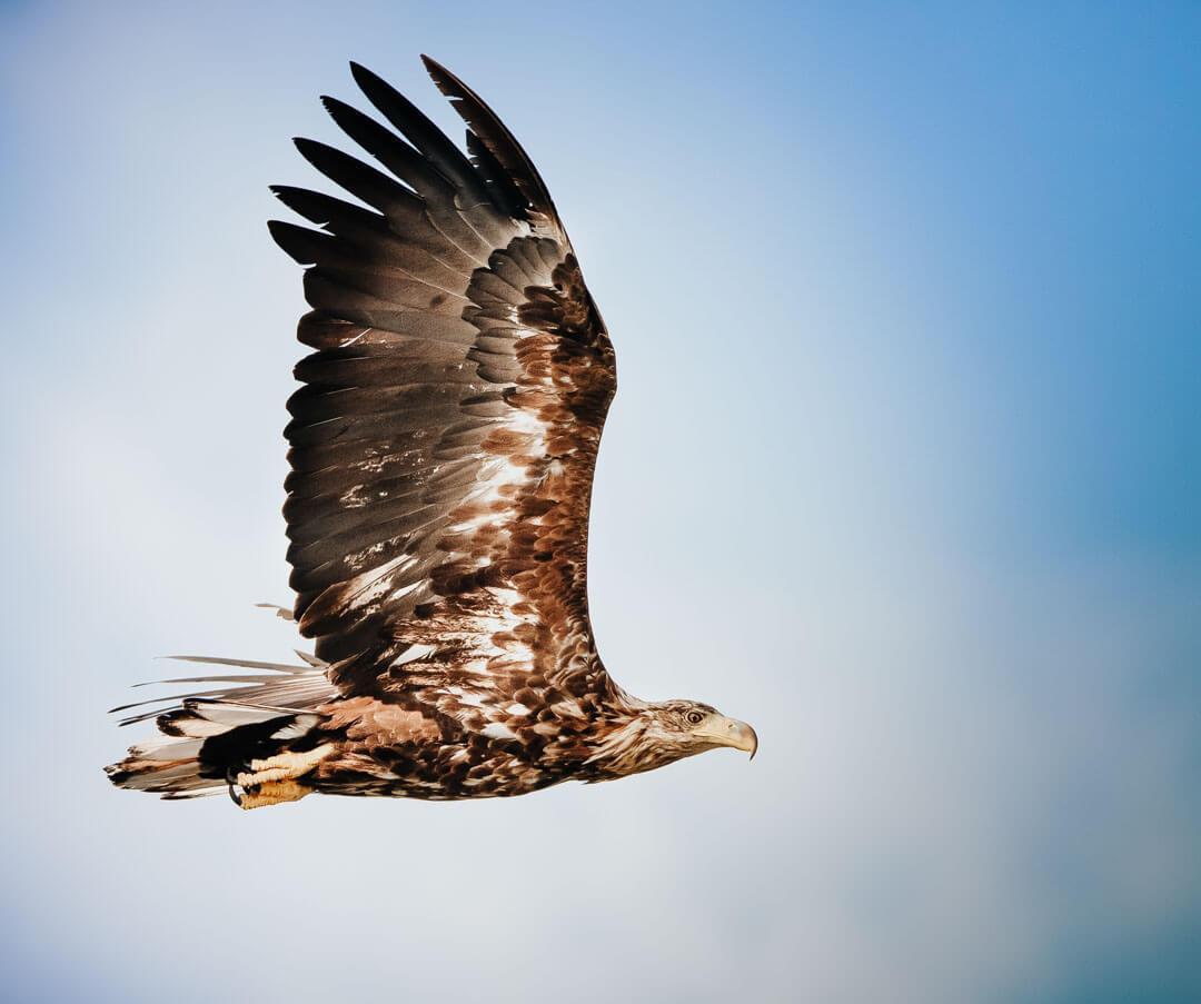 Aquila di mare - Norvegia 2019 Leica Natura daniele dell'osa binocolo leica fotocamera leica