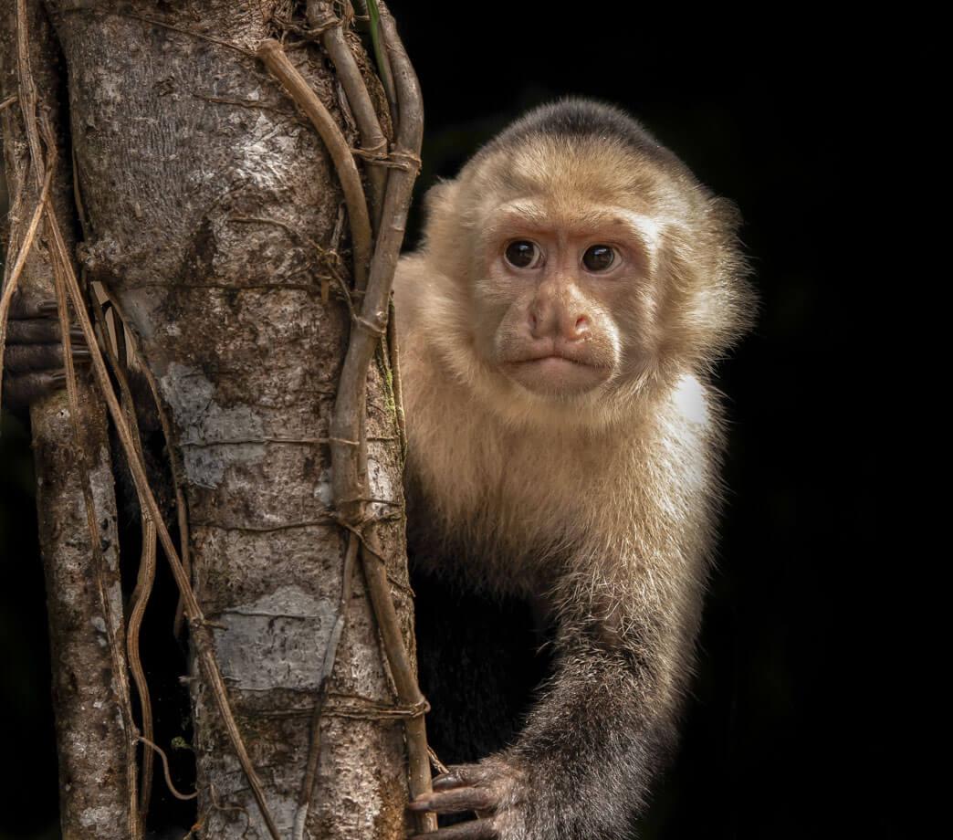 Scimmia cappuccina- Costa Rica 2018 Leica Natura fotocamera leica fotografia naturalistica Leica Natura Tatiana Chiavegato binocolo leica