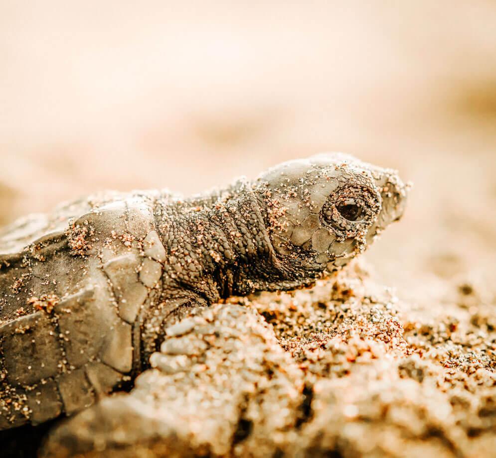 Tartaruga marina- Costa Rica 2018 Leica Natura Tatiana Chiavegato binocolo leica