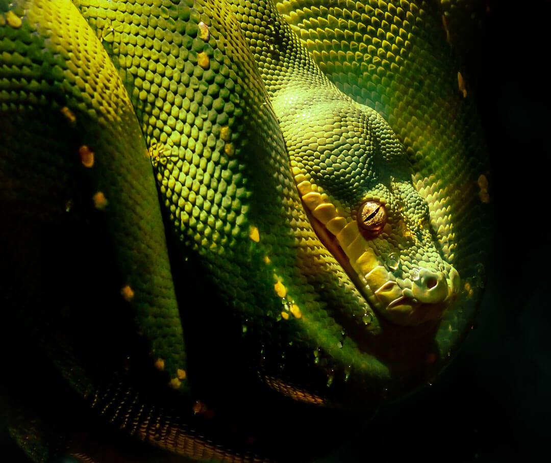 Pitone verde morelia verde -  Australia 2015 | Fotocamera Leica V-Lux 3